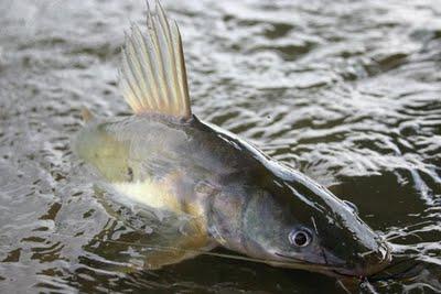 ปลากดเหลือง
